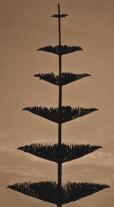 sepia sihouette: sepia image of Norfolk pine against a darkening sky