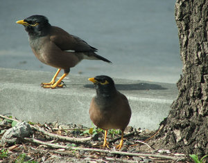 watch your step: mother and young - common myna birds on roadside,