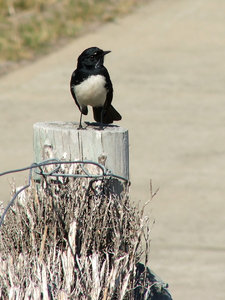 lone small sentinel: willy wagtail bird on old fence post