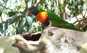 rainbow lorikeet: rainbow lorikeet