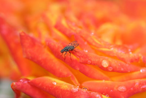 blue on red: colourful fly on wet red rose