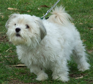 straining forward - ready to g: small white dog on chain leash
