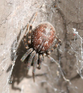 brown spider: close up of brown spider