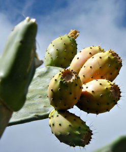 prickly pear fruit: prickly pear cactus fruit