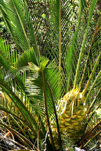 zamia: old Australian cycads known as zamia palms -