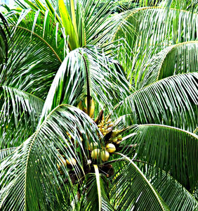 treetop coconuts: palm tree with coconuts - palm branches