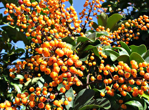 more berry abundance: large clusters of umbrella tree berries