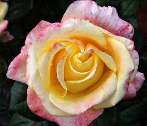 a rose by any other name: a multicoloured garden rose
