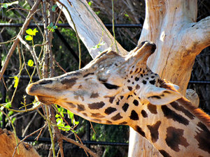 long mealtime4: giraffe eating
