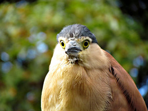 sharp eyed: sharp eyed Nankeen night heron