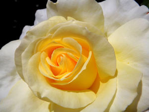 golden centred3: delicate gold centred white garden rose