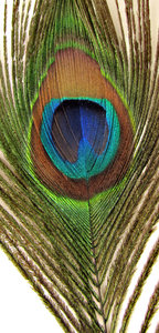eye of the feather3: the colourful and iridescent eye of Indian peacock tail feather