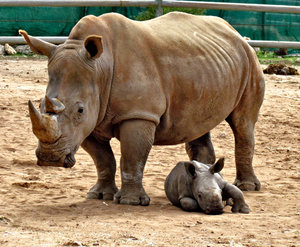 close to mother3: rhino mothter and young calf