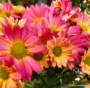 colourful chrysanthemums5: Mother's Day flower pot of varied coloured chrysanthemums