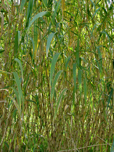 bamboo growth6: clump of common bamboo in flower