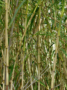 bamboo growth5: clump of common bamboo in flower