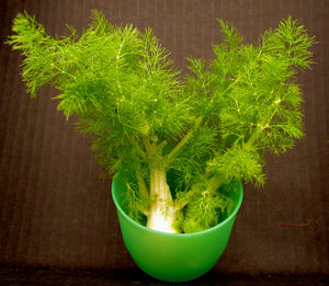 fennel1: the fine foliage of fennel