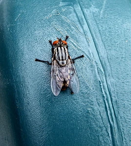 striped hairy-legged fly: resting striped hairy-legged fly