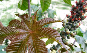castor seed pods & flowers4: leaf and flowers of the castor oil plant