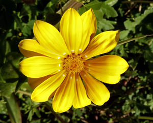 gazania colour6: the painted-like colourful appearance of gazanias