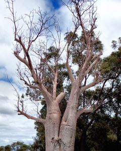 twin trunked boab: Australian twin trunked boab tree