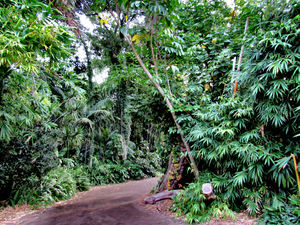 jungle walk1b: well maintained paved track through jungle foliage