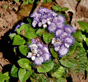 purple clusters1: cluster of ageratum flowers - floss flowers