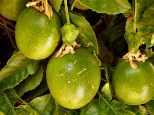 on the vine4: green unripe passion fruit on the vine