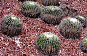 spike heads1: the sharp-ended spiny surface of the barrel cacti