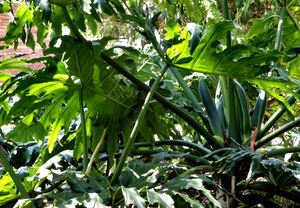 Philodendron light and shade: sunlight and shadows shining through screen of philodendron leaves
