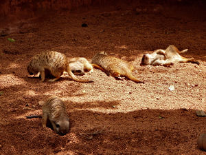 sunsoaking meerkats2: sunbathing meerkats soaking up the sun in their enclosure