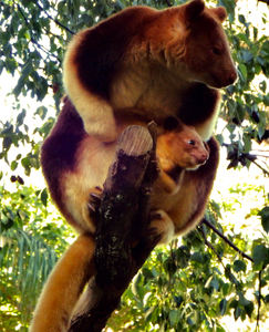 in mothers care2: rare and endangered Goodfellow's tree kangaroo mother with joey in pouch