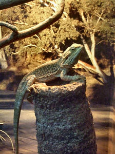 bearded dragon lizard1: Australian bearded dragon lizard on grass-tree stump