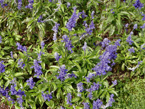 garden blue: colourful blue garden flowers