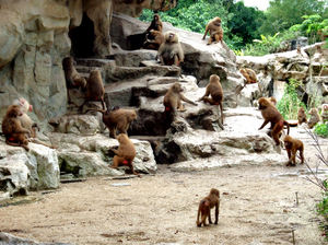 baboon activities2: a quietly active troop of baboons