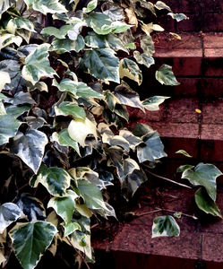 creeping up the wall3: plant creepers/vines adhering to brick or stone walls