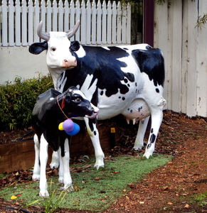 cows in the garden5: artificial life-like, life-sized cows scattered throughout rural dairy district town gardens