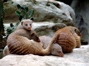 banded mongoose colony1: social and active banded mongoose interaction