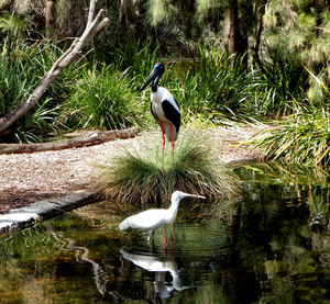black-necked stork6: distinctive Australian stork also known as a jabiru with yellow spoonbill
