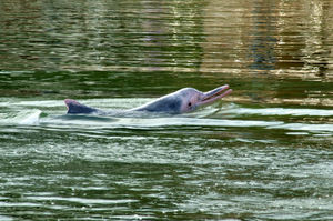 pink dolphin9: pink Indo-Pacific-humpbacked-dolphin in marine park