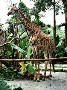 giraffe heights2: tall giraffes in their African style zoo enclosure