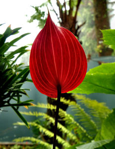 bright tail flowers12: glossy and distinctive tropical anthurium flowers companion flowers with other foliage & flowering plants