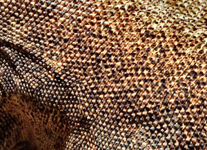 komodo dragon7: skin texture of tough skinned largest Asian land lizard