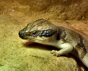 centralian blue tongued skink2: blue tongued skink from central & northern Australia