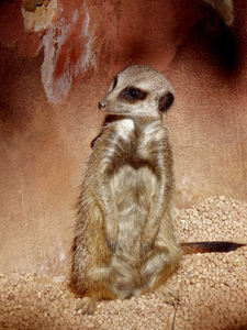 watchful2: aware meerkat on the lookout