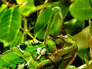 chameleon camouflage3: bright green patchy camouflaged veiled-chameleon