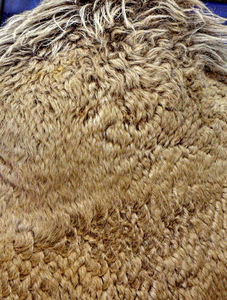 camel coat1: the thick woolly coat of a camel