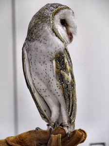 barn owl2: Australian barn owl species