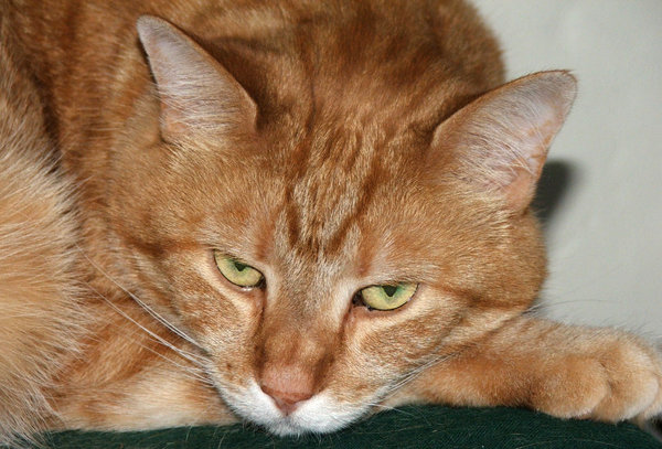 cat expressions: ginger tabby cat relaxed but watchful - cat in various postures and facial expression