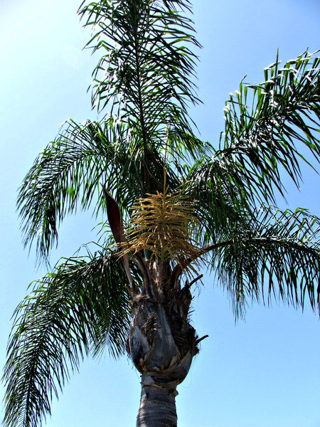 seedy palms: palm varieties showing abundance of flowers